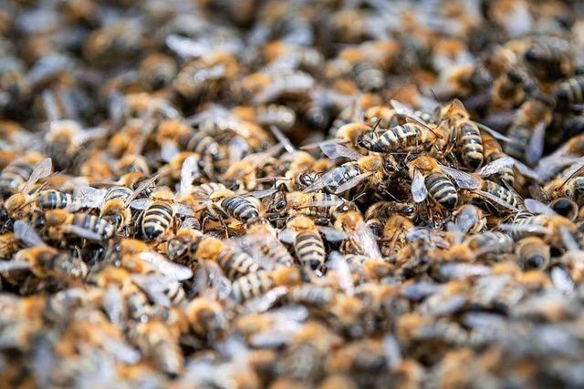 Bienen am Bodensee von Amerikanischer Faulbrut betroffen