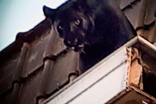 Panther spaziert in französischer Kleinstadt auf Dächern herum