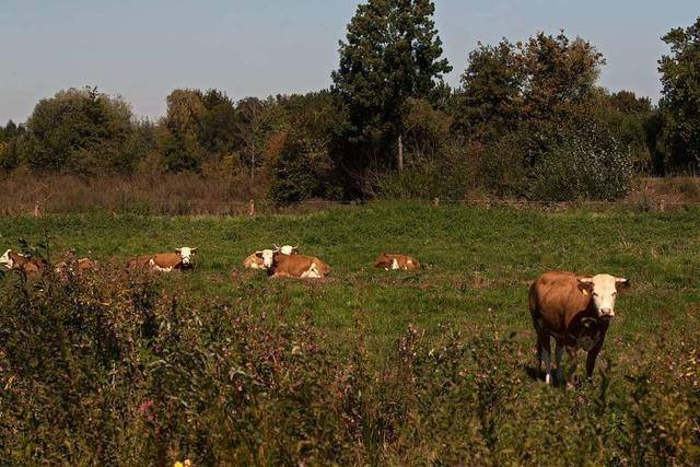Rinder grasen an der Elz als Ausgleich für den Bau des SC-Stadions