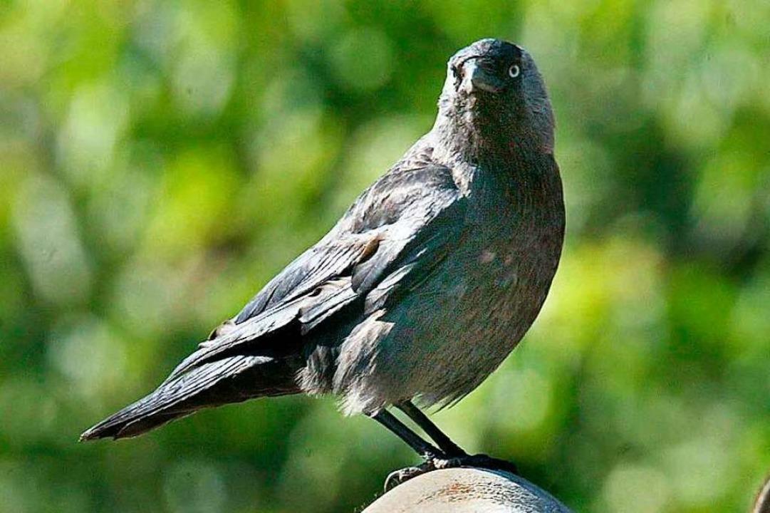 Die Dohle gehört zu den Rabenvögeln.  | Foto: Bernd_Thissen