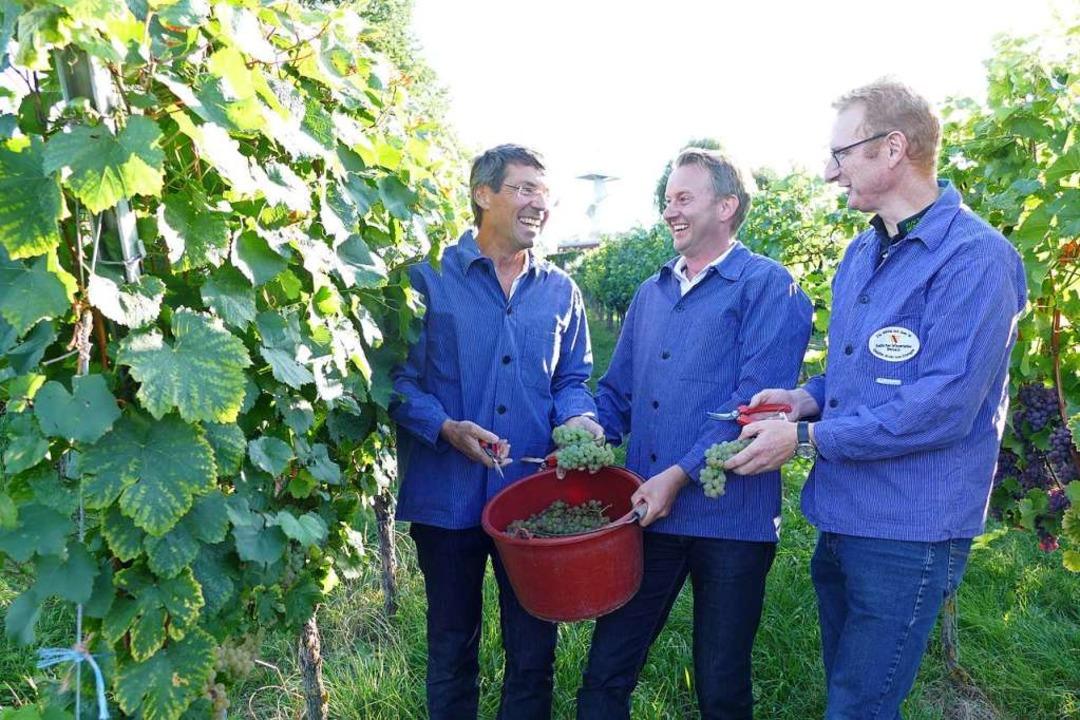 Die Bürgermeister Bruno Metz (von link...er und Thomas Gedemer bei der Weinlese  | Foto: Lena Marie Jörger