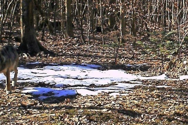 Noch keine Beweise für Wolf im Kreis Waldshut