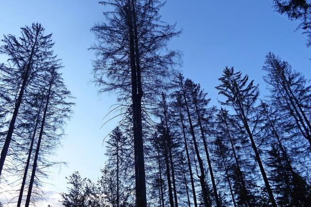Die Nadelbäume sterben reihenweise ab