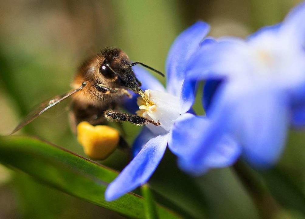 Eine Biene sammelt Pollen von einer Blüte.  | Foto: Monika Skolimowska (dpa)