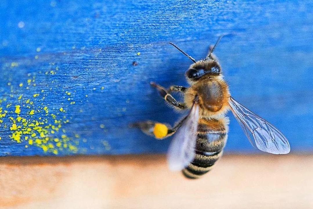 Eine Honigbiene mit einem gefüllten Pollensack sitzt an einem Bienenstock.  | Foto: Sebastian Gollnow (dpa)