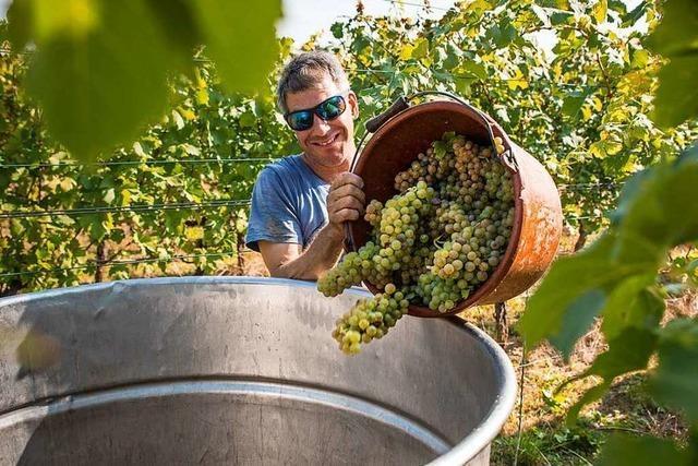 Im Breisgau läuft die Weinlese