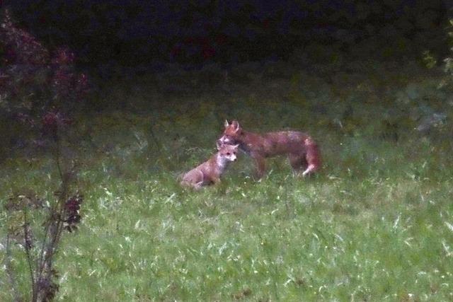 Füchse im Vorgarten