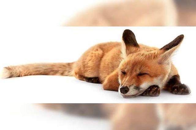Staupe bei einem verendeten Fuchs im Kanton Baselland nachgewiesen