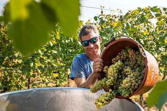 Es ist ein optimales Jahr für Müller-Thurgau-Trauben