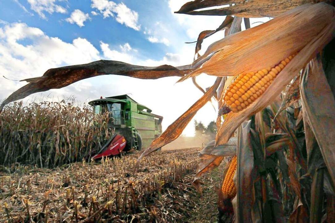 Ertragbringend, aber oft kritisiert: der Maisanbau  | Foto: Siegfried Gollrad