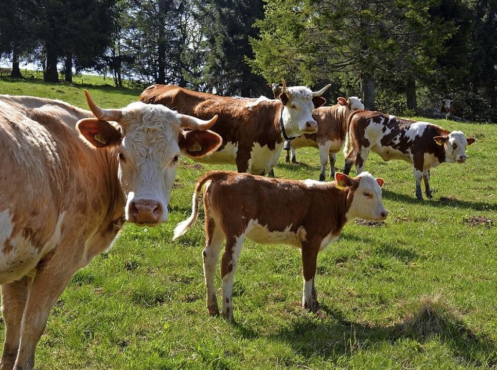 Hinterwälder  sind die kleinsten Rinde...  zählen zu den alten Nutztierrassen.   | Foto: Gabriele Hennicke