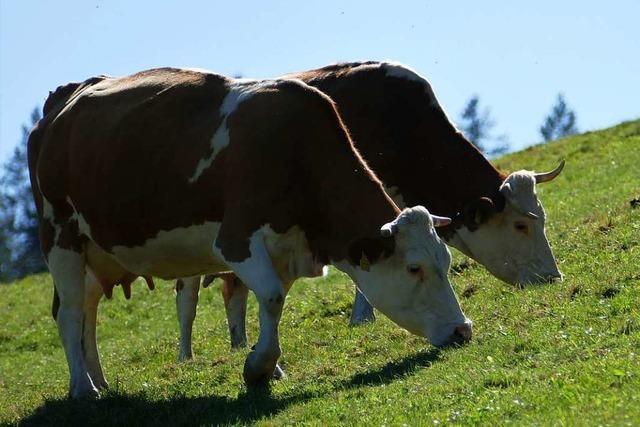 Landwirte und Gastronomen wollen das Hinterwälder-Rind besser vermarkten