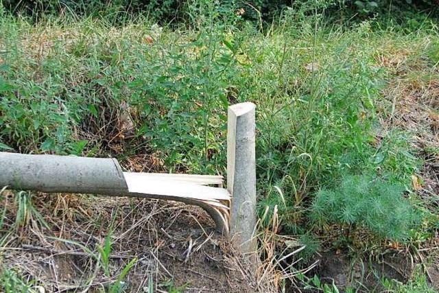 In Istein wurden 11 junge Zypressen-Bäume zerstört