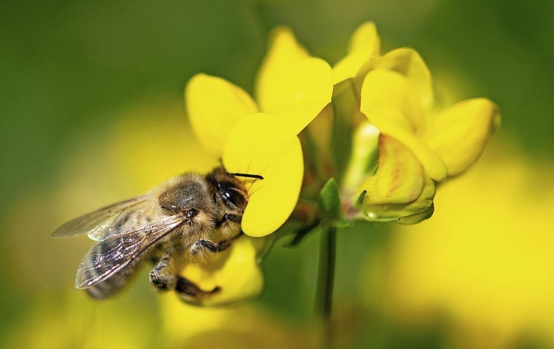 Die Biene ist Symbol der aktuellen, te...ührten  Debatte für mehr Artenschutz.   | Foto: Fabian Sommer (dpa)