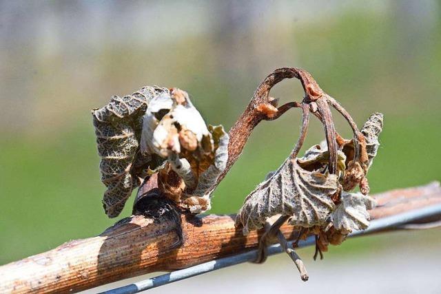 Land hilft Obst- und Weinbauern bei der Wettervorsorge