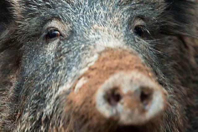 Wildschweine überqueren A5 bei Riegel – sechs Autos beschädigt
