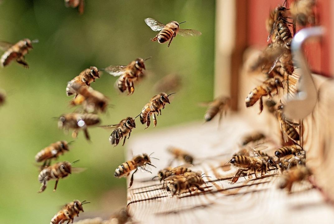 Das Thema Bienen sorgt derzeit  für Diskussionen, auch in Gottenheim.  | Foto: Florian Zimmer-Amrhein (dpa)