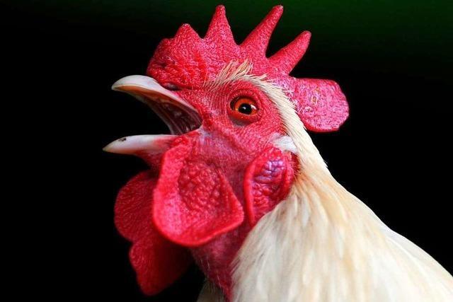 Woher weiß der Hahn, wann er krähen muss?