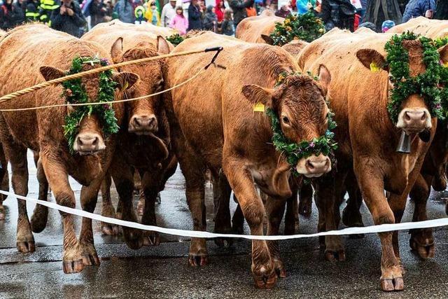 Oberried: Viehabtrieb wird zum Volksfest
