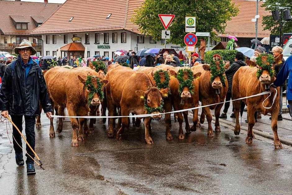 Der Viehabtrieb ist alljährlich der Höhepunkt der Alemannischen Woche in Oberried. (Foto: Hubert Gemmert)