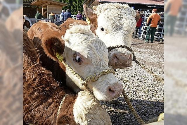 Erntemarkt und prächtige Rinder