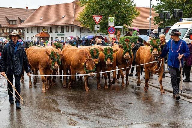 Rückkehr der Rinder in Oberried