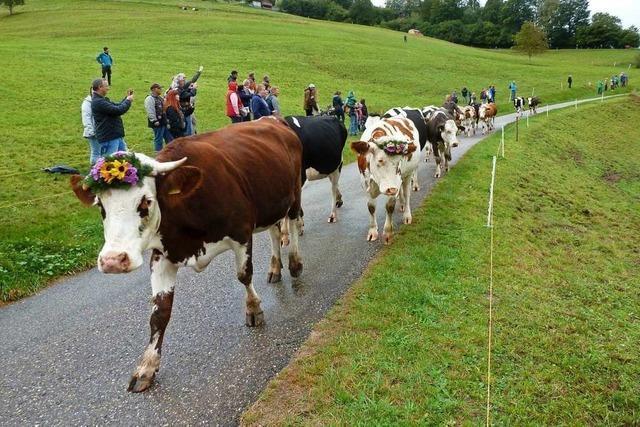 Mit Musik und Folklore kam das Vieh im Münstertal von der Weide