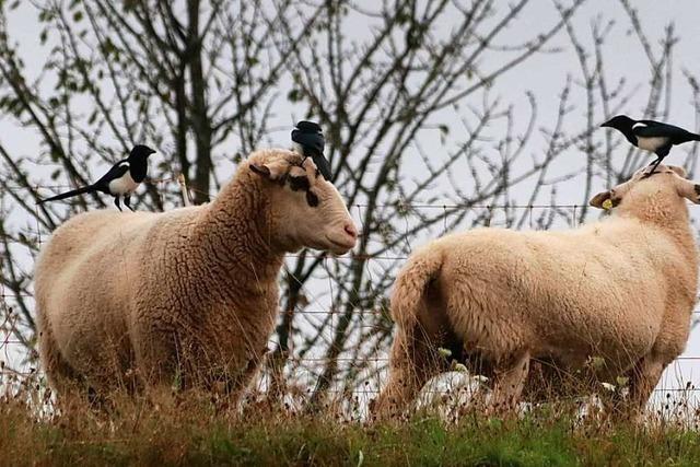 Diese Elstern unterstützen Schafe bei der Fellpflege