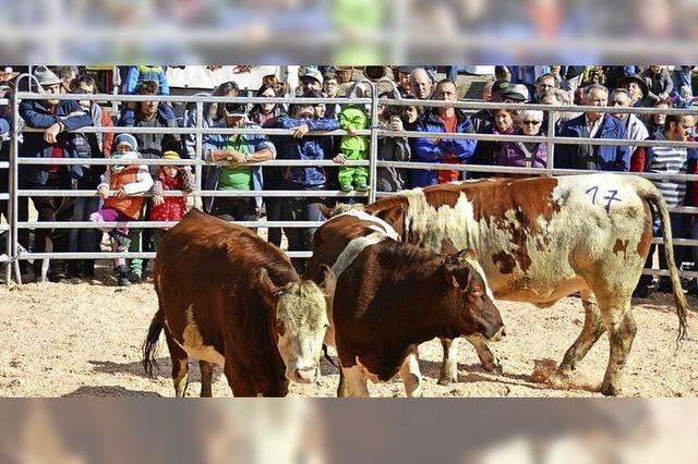 Viehversteigerung wurde zum Event