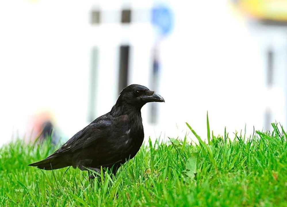 Eine Krähe (Archivfoto)  | Foto: Ingo Schneider