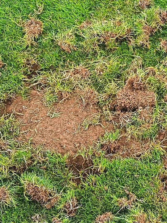 Krähen richten auf dem Rasenplatz  massive Schäden an.  | Foto: Wilfried Dieckmann