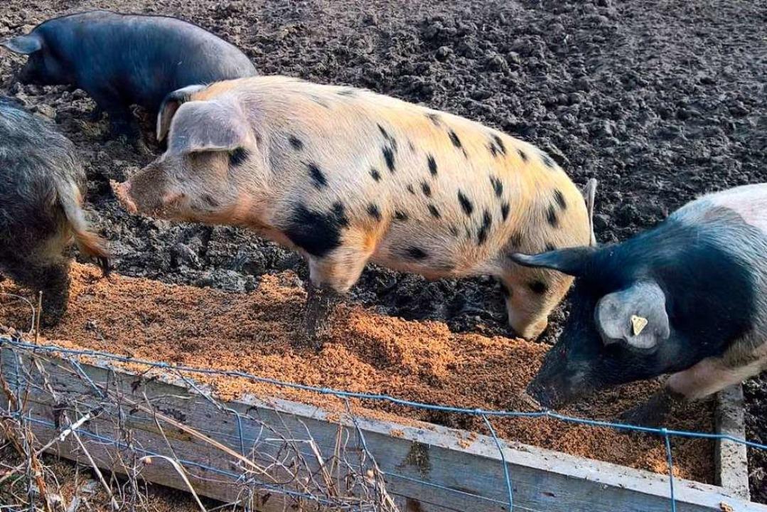 Die Überreste aus der Produktion bekommen die Wollschweine.  | Foto: Helmut Enderlin