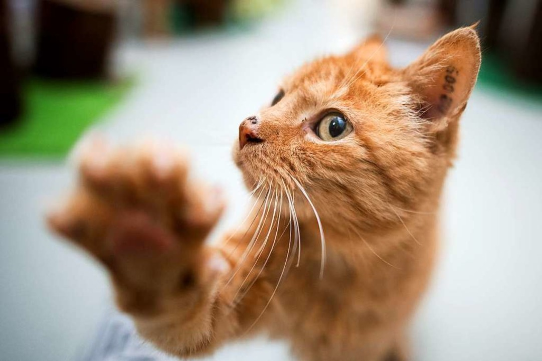 Wenn  Katzen  viel Wasser  trinken, ist dies ein Alarmzeichen.  | Foto: Julian Stratenschulte