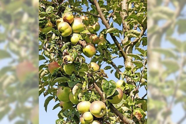 Obstbäume günstig kaufen