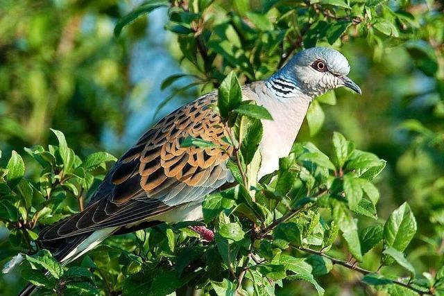 Naturschützer wählen Turteltaube zum Vogel des Jahres 2020