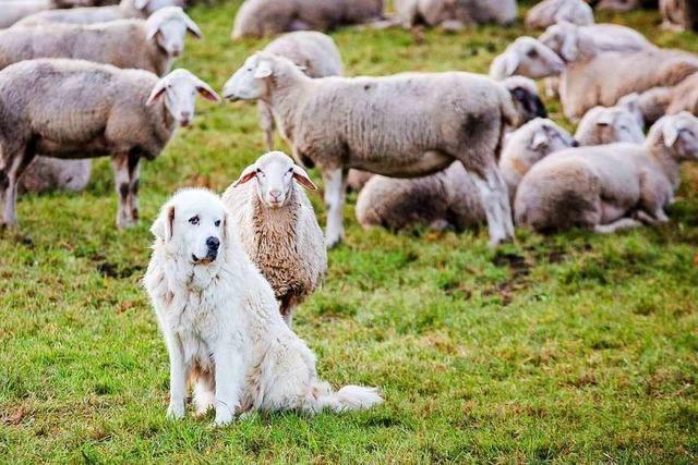 Nabu: Mittel für Herdenschutz gegen Wölfe gut angelegt