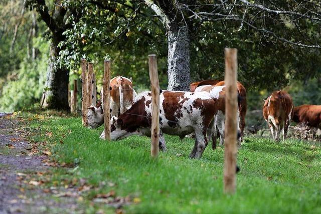 Die ersten Rinder grasen schon auf dem Langenhard
