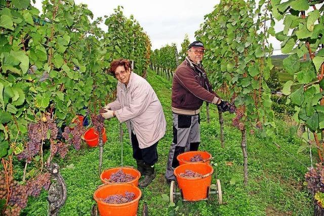 Die Winzer am Kaiserstuhl sind mit dem Jahrgang 2019 zufrieden