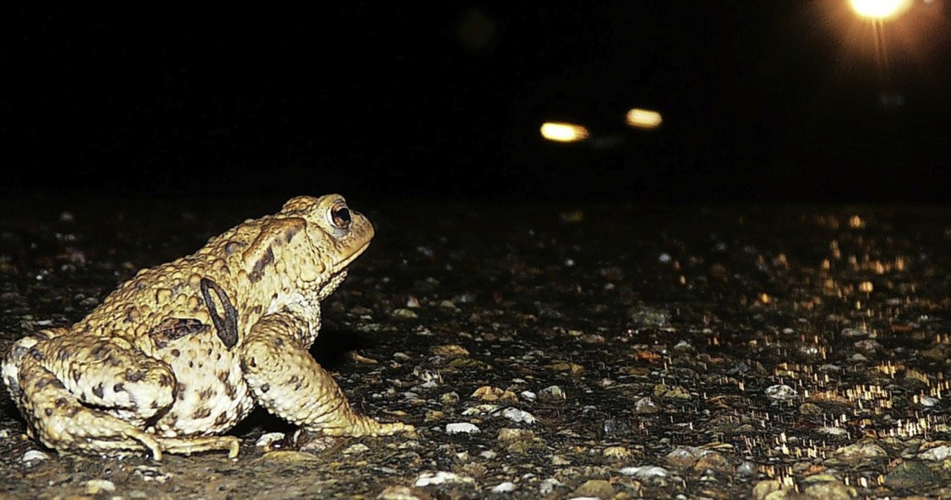 Zum Schutz der wandernden Amphibien sollten Autofahrer langsam machen.    Foto: Hajo Gorny Stadt Ettenheim