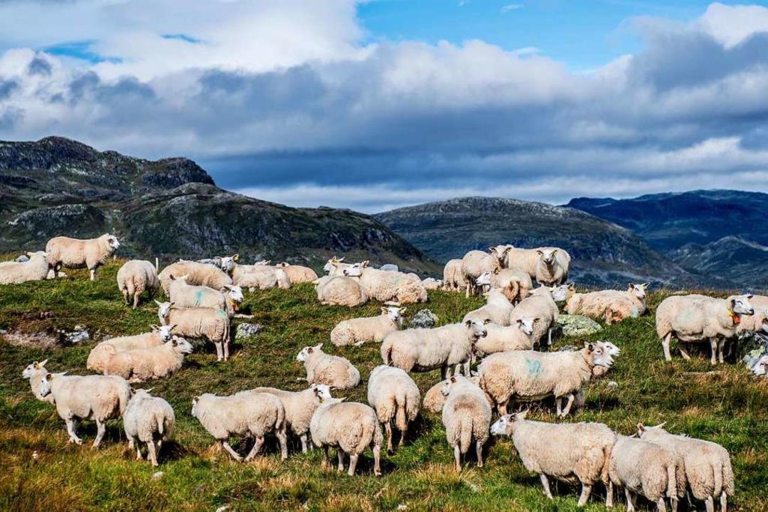Ein paar Dutzend von insgesamt zwei Millionen: Schafe in Norwegen  | Foto: Thomas Rasmus Skaug / Visitnorway.com
