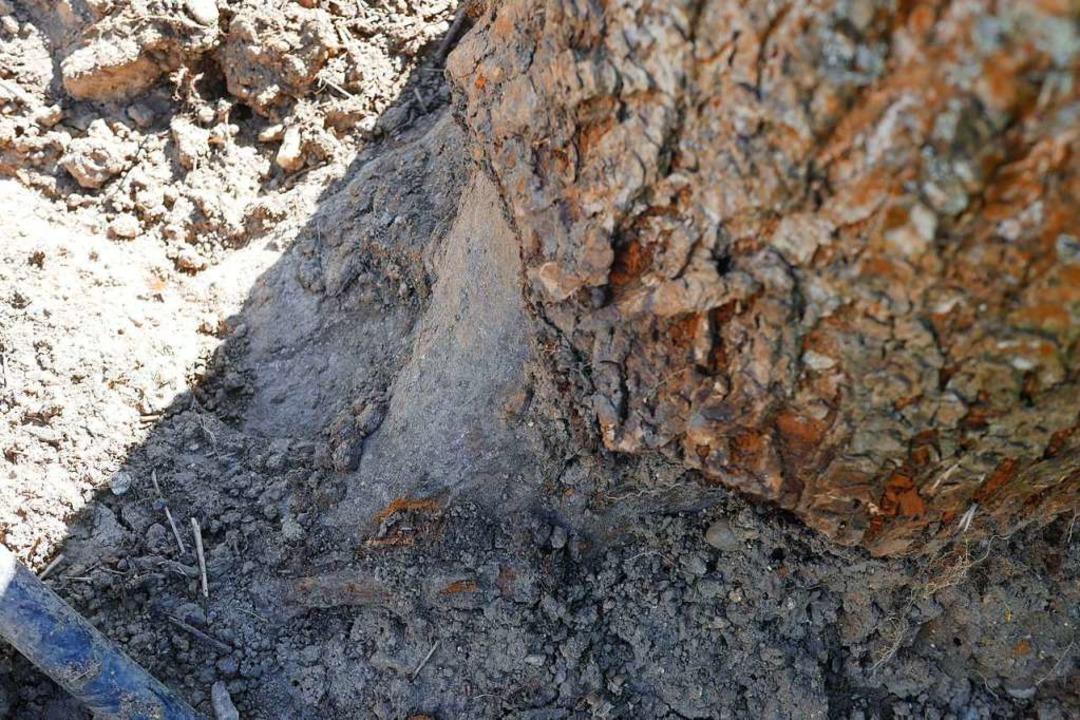 Wühlmäuse haben am Stamm eines Baumes  genagt.  | Foto: Jannik Jürgens