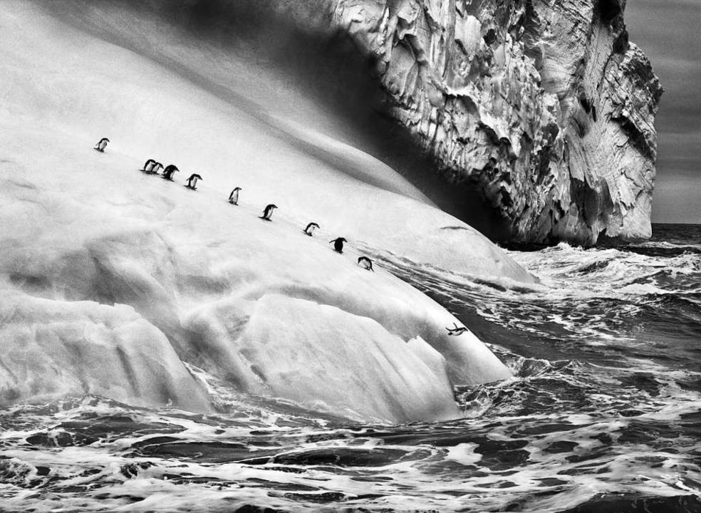 Unberührte Natur: Zügelpinguine auf ei... der  südlichen Sandwichinseln, 2009    | Foto: Sebastia Salgado