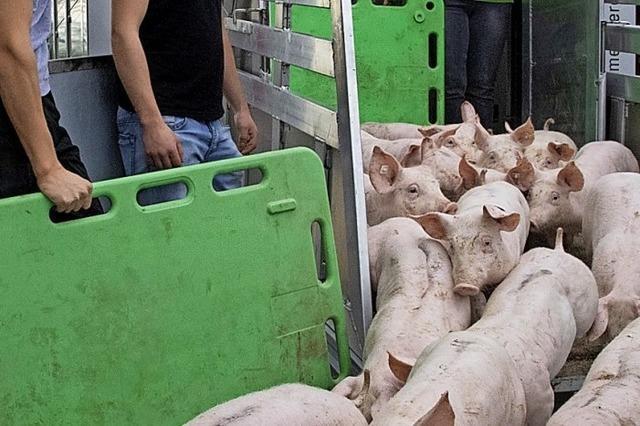 Schweine beziehen Tierwohl-Stall