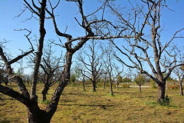 Starben die Bäume in Weil am Rhein wegen Trockenheit oder mangelnder Pflege?