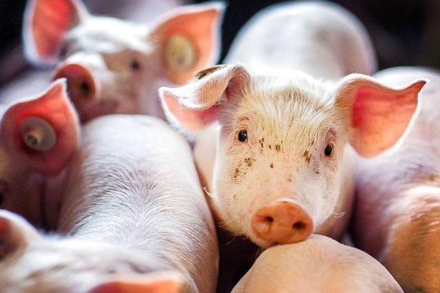 Wie der einzige Schweinezüchter im Großraum Bonndorf arbeitet