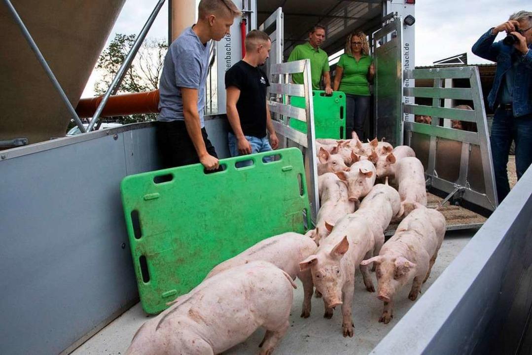 Die ersten Schweine sind in das neue &...s) freuen sich auf die neuen Bewohner.    Foto: Volker Münch