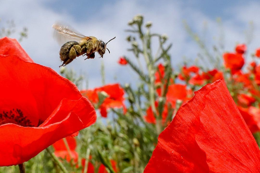 Wie geht es mit dem Bienen-Volksbegehren weiter?  | Foto: Thomas Warnack (dpa)