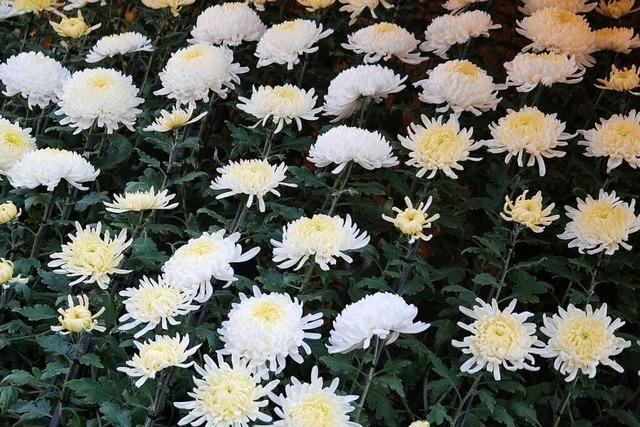 Gibt's zur Chrysanthema wieder einen Ozukuri?