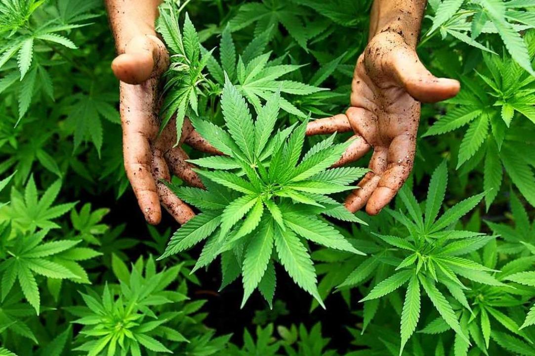 Vielleicht ganz nett anzusehen, aber i...n gar nicht beim Autofahren: Cannabis.  | Foto: ABIR SULTAN