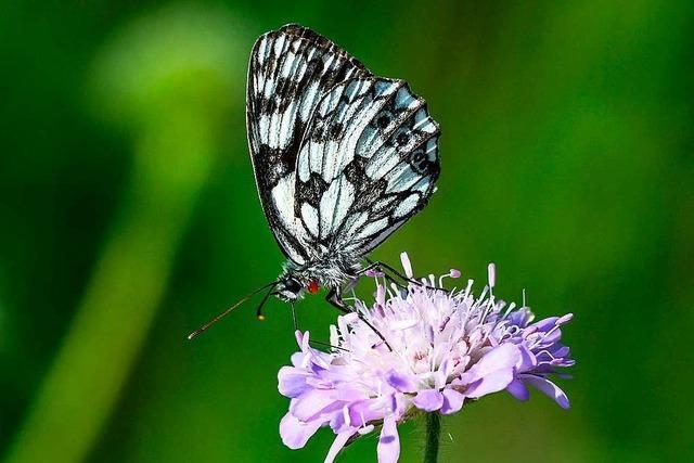 Das Ökosystem für Schmetterlinge ist bereits gekippt